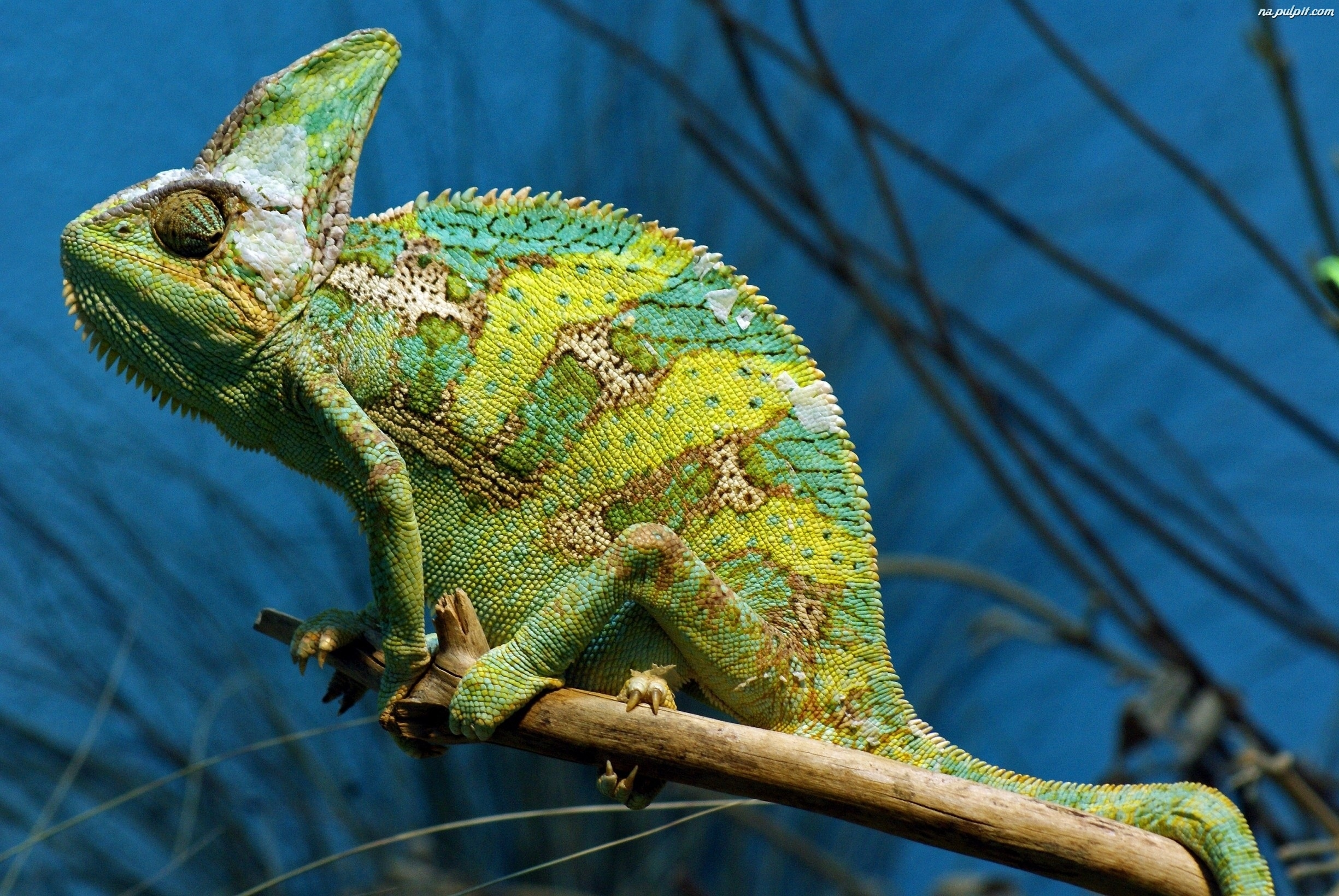 reptiles animal chameleon frog - photo #15